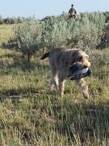 Mia retrieving a pigeon, 8-16-14.