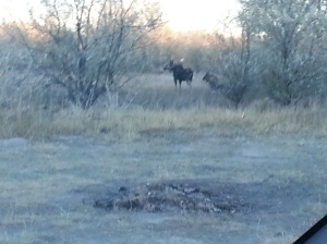 I was going after the duck that I winged the day before, but this cow and calf moose changed my mind.