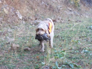 Mia retrieving our second grouse of the day