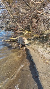 Mia finished retrieve over half a mile from where I shot the duck, it had washed up on the shore