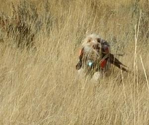 Doc retrieves a Pheasant
