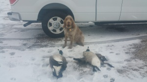 Mia with the two geese she retrieved, 12-24-16